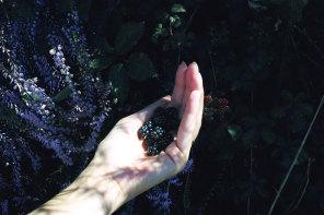 Small treasures : wild blackberries, Landes forest, France